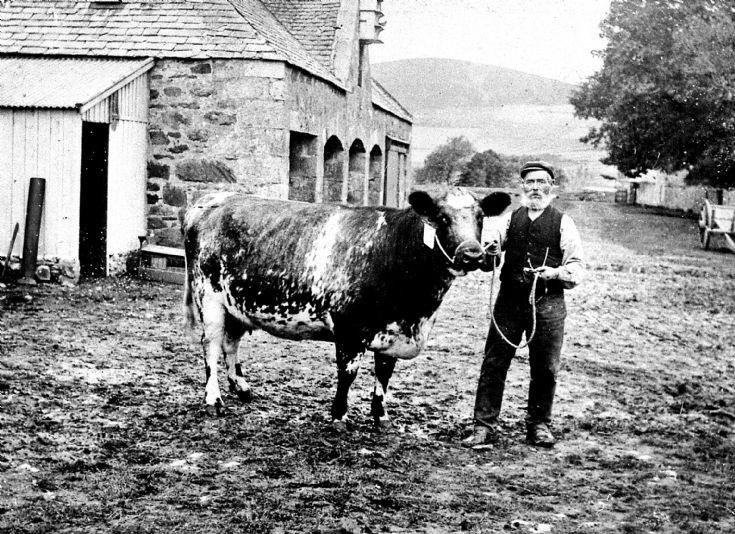 110 Prize Cow Mains Farm Glenbuchat