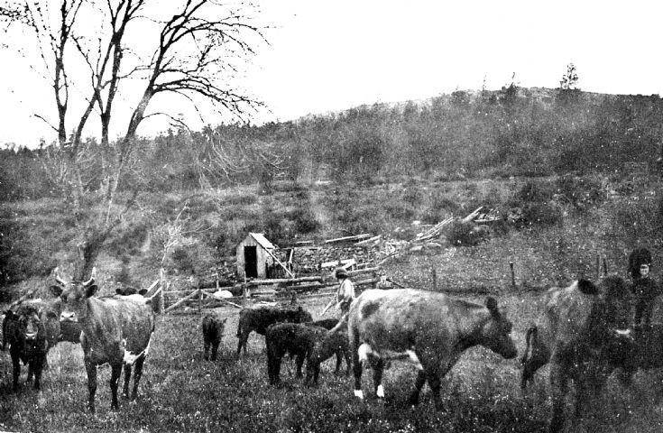 87 Tending Cattle at ? Craighead Glenbuchat