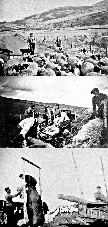 92 Mr McRobert and friends herding, shearing sheep