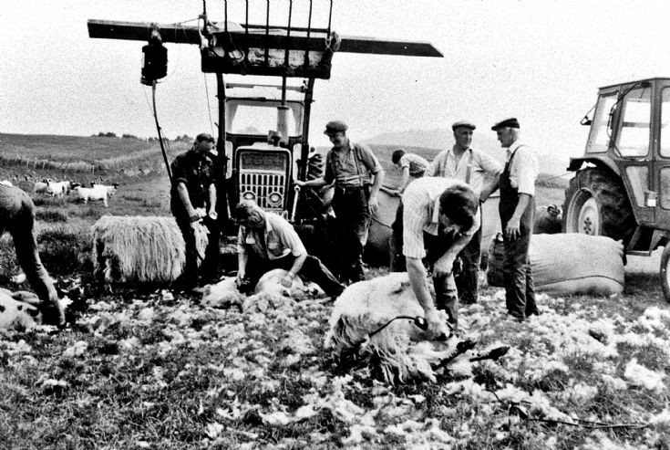 223 Sheep Shearing Easterbuchat Glenbuchat