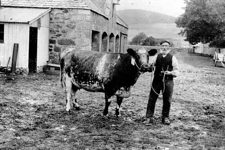 71 Prize Cow