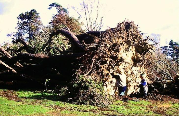 Great Storm at Nymans - Deodar Cedar