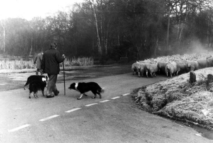 Driving sheep to the Hyde, Handcross