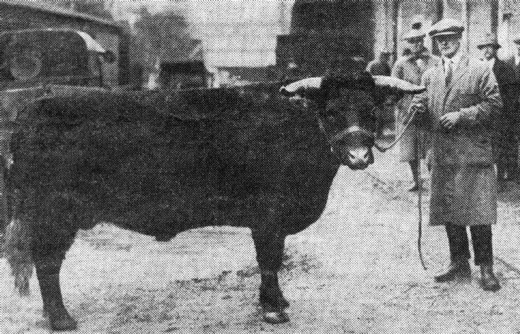 Colonel Warren's prize-winning cattle