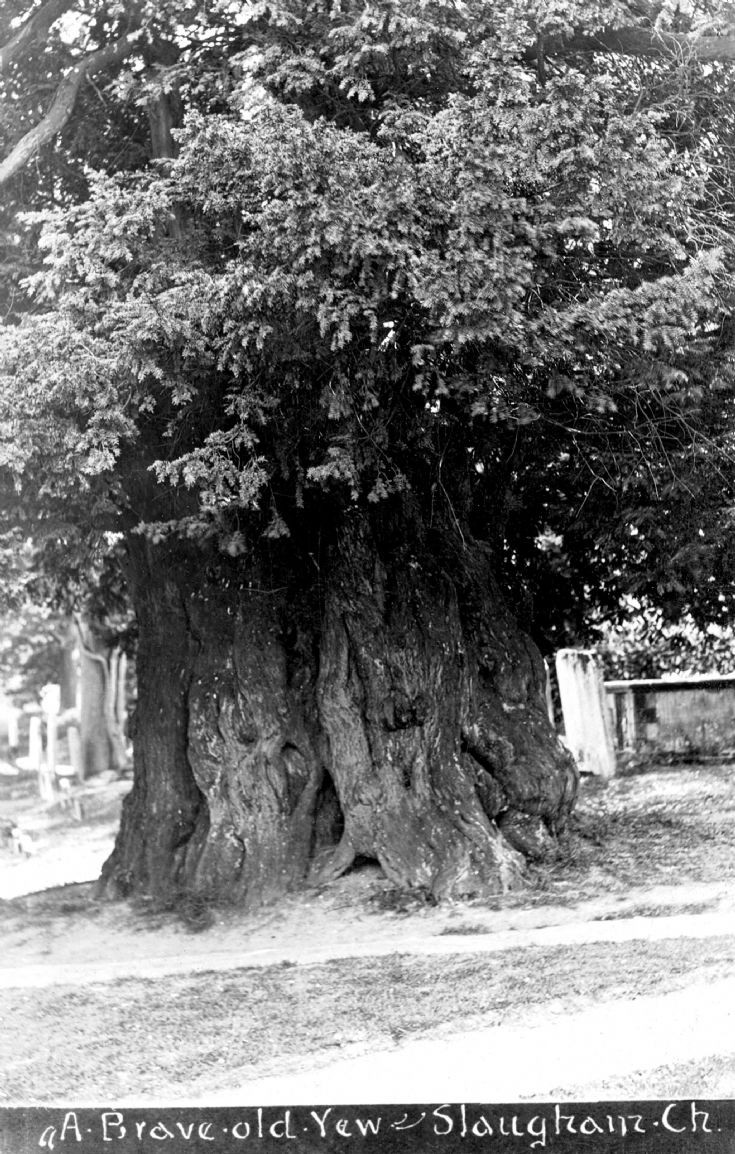 Yew tree in Slaugham churchyard