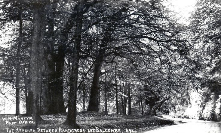 Beech trees in Balcombe Lane
