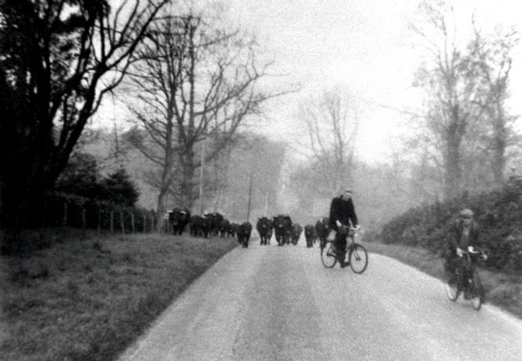 High Beeches cattle driven along Balcombe Lane