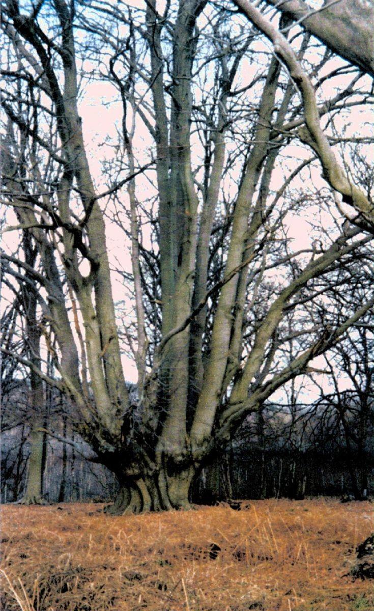 Pollarded beech tree along Balcombe Lane
