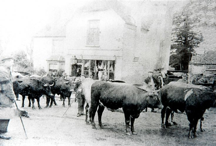 Cattle outside Snelling's butcher's shop