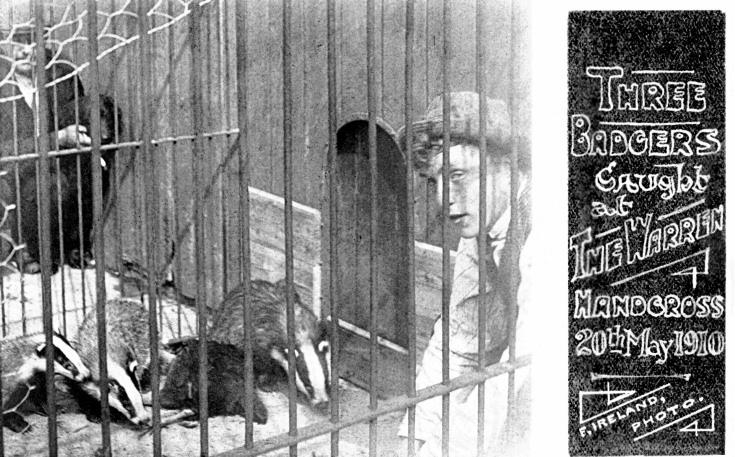 Captured badgers in Handcross